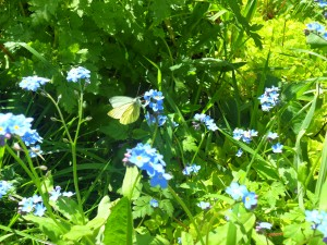 Green Veined White 30April2012