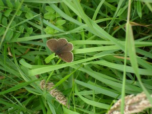 Ringlet. July 2012. Greystones, Co Wicklow.