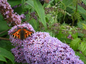 Small Tortoiseshell. July 2012.