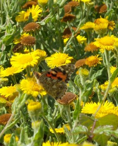 Painted Lady near Ringstead Bay.