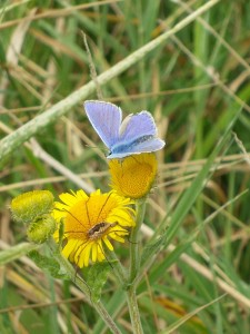 Common Blue with Spider.
